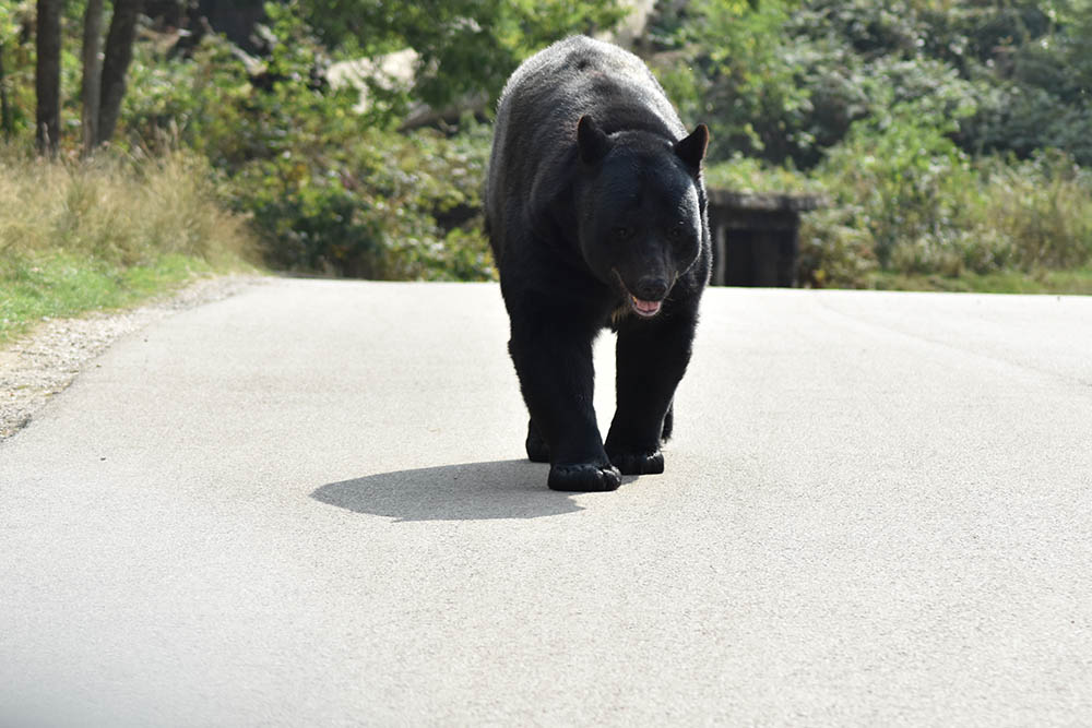 Can You Outrun A Bear On A Bike?
